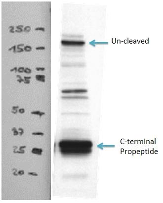 WB result of Collagen Type I antibody (14695-1-AP, 1:2000) with hVFFA8 cells lysate.
