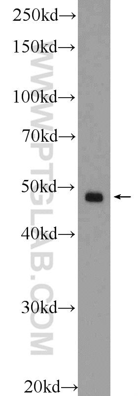 HT-1080 cells were subjected to SDS PAGE followed by western blot with 16413-1-AP( SMCR7,MID49 Antibody) at dilution of 1:300  incubated at room temperature for 1.5 hours