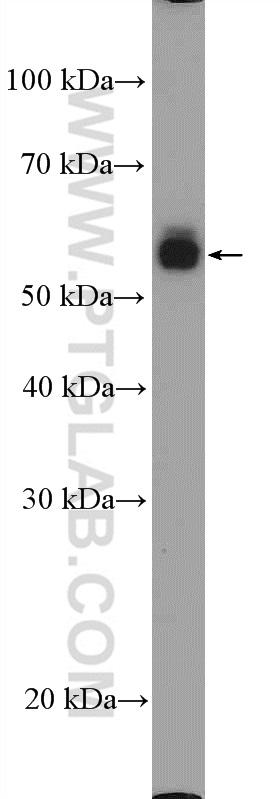 HL-60 cells were subjected to SDS PAGE followed by western blot with 17000-1-AP( CD14 Antibody) at dilution of 1:600  incubated at room temperature for 1.5 hours
