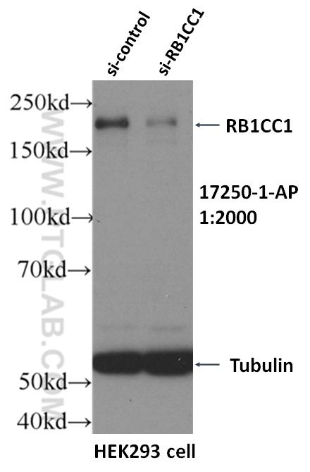WB result of RB1CC1 antibody (17250-1-AP, 1:2000) with si-Control and si-RB1CC1 transfected HEK293 cells.