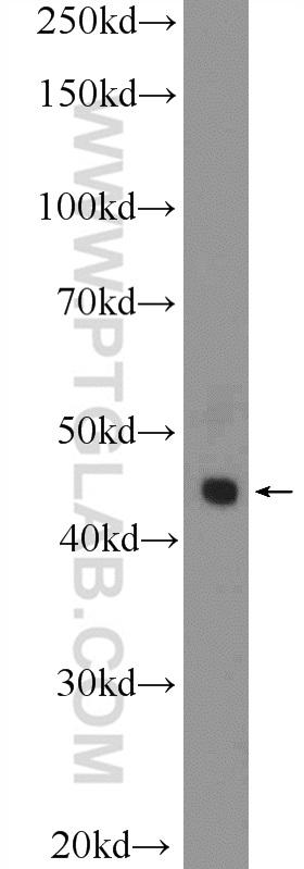 U-937 cells were subjected to SDS PAGE followed by western blot with 17938-1-AP( LGALS9, Galectin-9 Antibody) at dilution of 1:600  incubated at room temperature for 1.5 hours