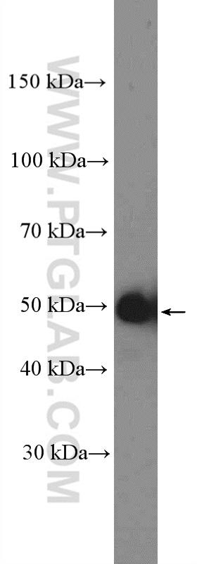 HL-60 cells were subjected to SDS PAGE followed by western blot with 18202-1-AP( Cyclin A2 Antibody) at dilution of 1:4000  incubated at room temperature for 1.5 hours