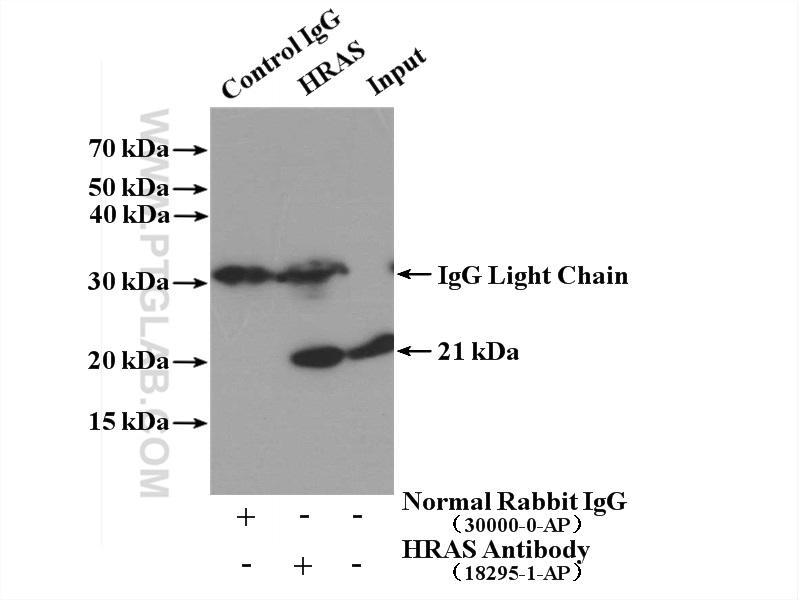 IP result of anti-HRAS-Specific(IP:18295-1-AP, 4ug; Detection:18295-1-AP 1:3000) with  HEK-293 cells lysate 3040 ug