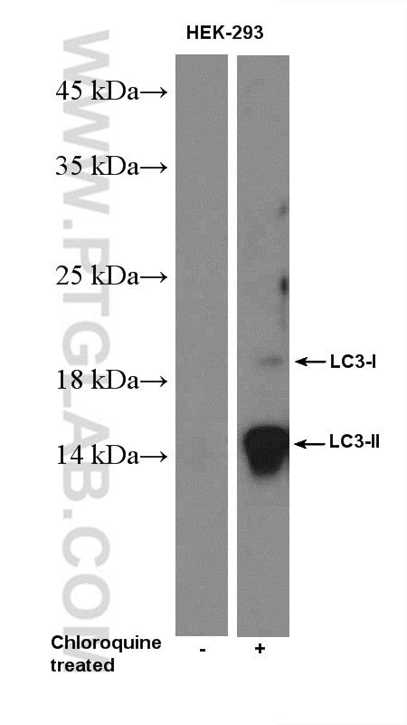 Chloroquine treated HEK-293 cells were subjected to SDS PAGE followed by western blot with 18725-1-AP( MAP1LC3B-Specific Antibody) at dilution of 1:1000  incubated at room temperature for 1.5 hours