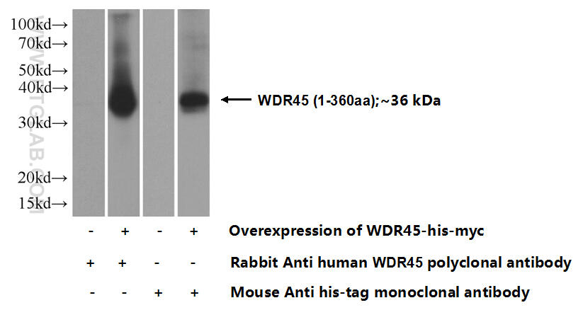 Transfected HEK-293 cells were subjected to SDS PAGE followed by western blot with 19194-1-AP( WDR45 Antibody) at dilution of 1:1000  incubated at room temperature for 1.5 hours