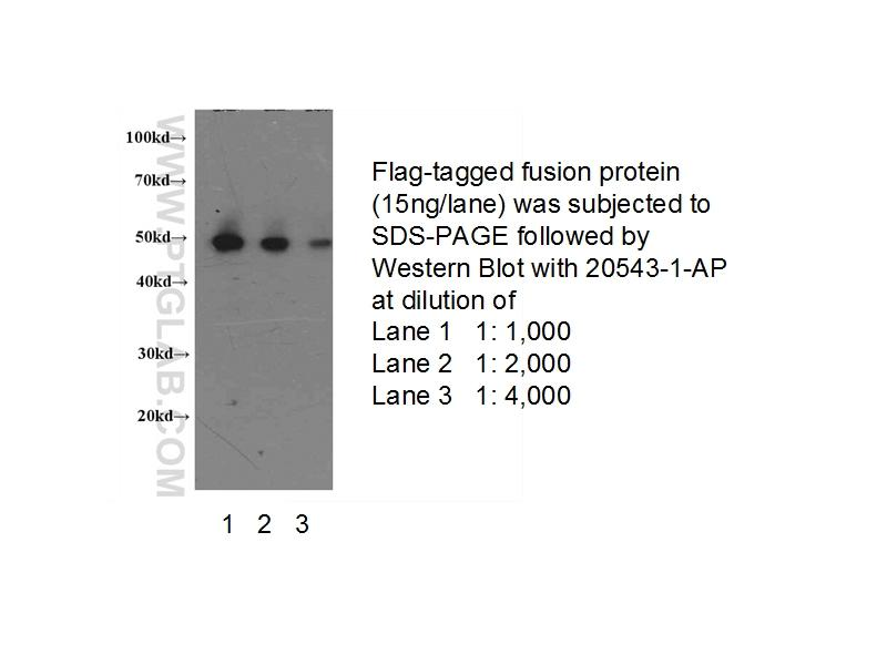 Western blot of Flagged fusion protein with anti-DDDDK (20543-1-AP) at various dilutions.