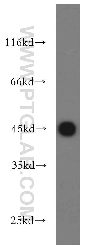 human brain tissue were subjected to SDS PAGE followed by western blot with 21705-1-AP(UQCRC1 antibody) at dilution of 1:500  incubated at room temperature for 1.5 hours