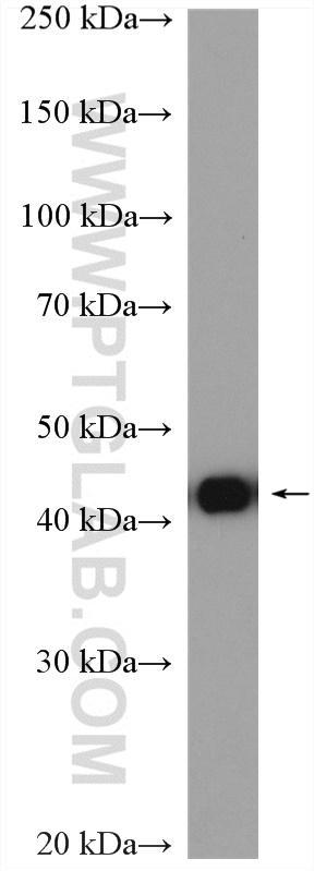 rat skin tissue were subjected to SDS PAGE followed by western blot with 21898-1-AP (TGF-beta 1 antibody) at dilution of 1:2000 incubated at room temperature for 1.5 hours