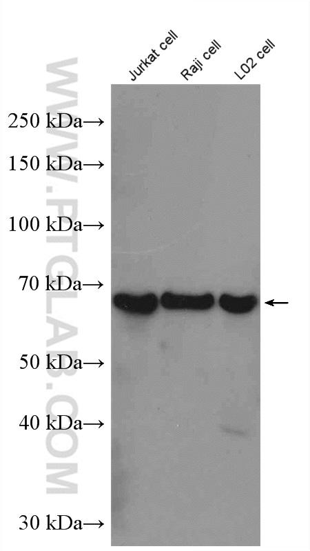 Various lysates were subjected to SDS PAGE followed by western blot with 24744-1-AP (YTHDF2 antibody) at dilution of 1:1000  incubated at room temperature for 1.5 hours