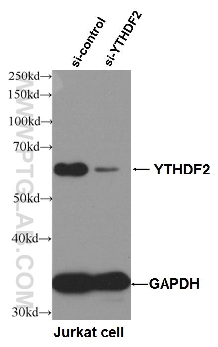 WB result of YTHDF2 antibody (24744-1-AP, 1:4000) with si-control and si-YTHDF2 transfected Jurkat cells.