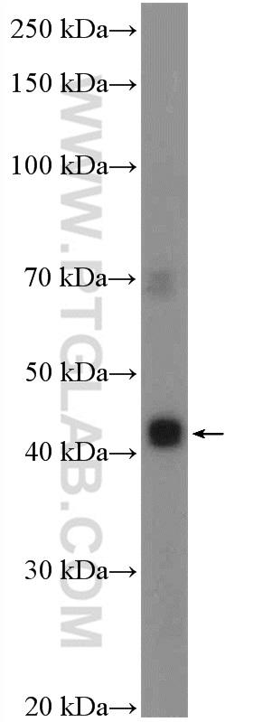 SH-SY5Y cells were subjected to SDS PAGE followed by western blot with 24849-1-AP( C10orf54 Antibody) at dilution of 1:300  incubated at room temperature for 1.5 hours