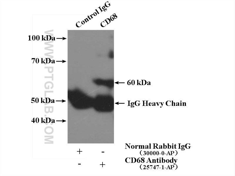 IP Result of anti-CD68 (IP:25747-1-AP, 4ug; Detection:25747-1-AP 1:300) with RAW 264.7 cells lysate 1200ug.