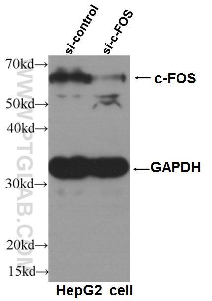 HepG2細胞とc-Fosを標的とするsiRNAまたはsiRNAコントロールを用いて、本抗体(希釈倍率 1:1000)でウェスタンブロットを行った。