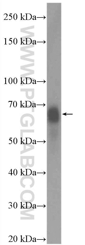 マウス胚組織をSDS-PAGE後、c-Fos抗体 (26192-1-AP、希釈倍率 1:1000) を用いてウェスタンブロットを行った。