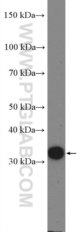 C6 cells were subjected to SDS PAGE followed by western blot with 26755-1-AP( Cyclin D3 Antibody) at dilution of 1:1000  incubated at room temperature for 1.5 hours