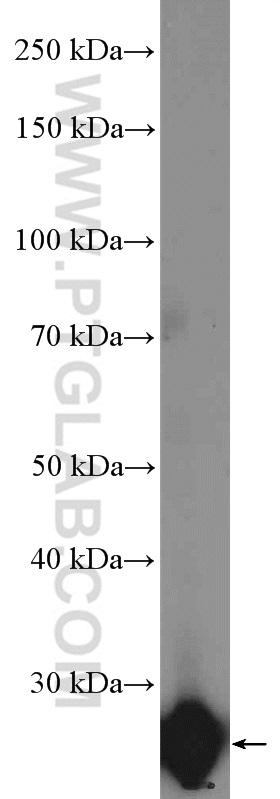 human placenta tissue were subjected to SDS PAGE followed by western blot with 27079-1-AP( GH1 Antibody) at dilution of 1:1000  incubated at room temperature for 1.5 hours