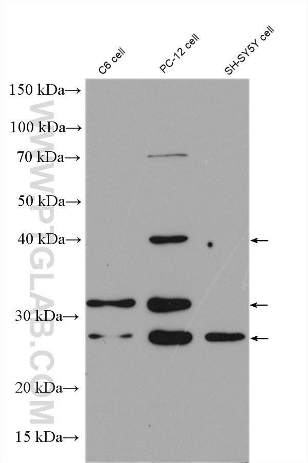 Various lysates were subjected to SDS PAGE followed by western blot with 28205-1-AP (BDNF antibody) at dilution of 1:1000 incubated at room temperature for 1.5 hours