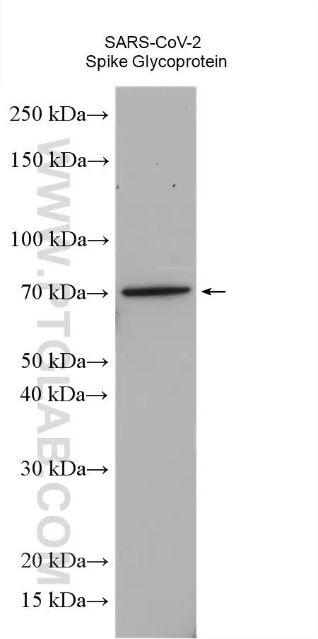 Spike Glycoprotein with the domain 1-658aa expressed in HEK-293 cells were subjected to SDS PAGE followed by western blot with 28901-1-AP (SARS-CoV-2 Spike Glycoprotein (428-506aa) Antibody) at dilution of 1:2000 incubated at room temperature for 1.5 hours.