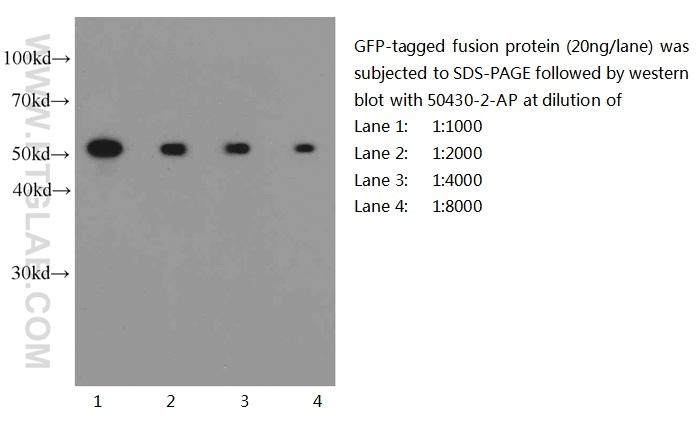 Western blot of eGFP-tagged fusion protein with anti-eGFP-tag (50430-2-AP) at various dilutions.