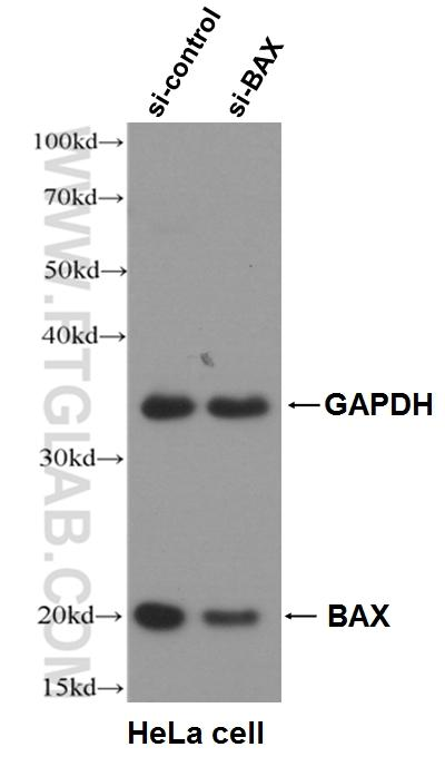 WB result of BAX antibody (50599-2-Ig, 1:5000) with si-Control and si-BAX transfected HeLa cells.