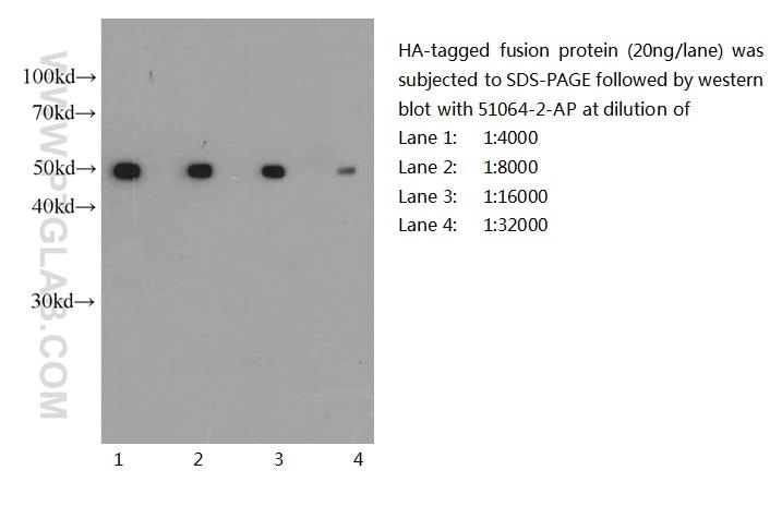 Western blot of HA-tagged fusion protein with anti-HA-tag (51064-2-AP) at various dilutions.
