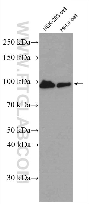 HEK-293 and HeLa cells were subjected to SDS PAGE followed by western blot with 51067-2-AP (beta-Catenin antibody) at dilution of 1:2000  incubated at room temperature for 1.5 hours