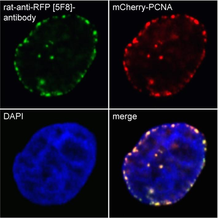 Immunofluorescence of HeLa cells stably expressing mCherry-PCNA