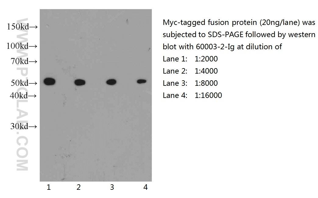 Western blot of Myc-tagged fusion protein with anti-Myc-tag (60003-2-Ig) at various dilutions.