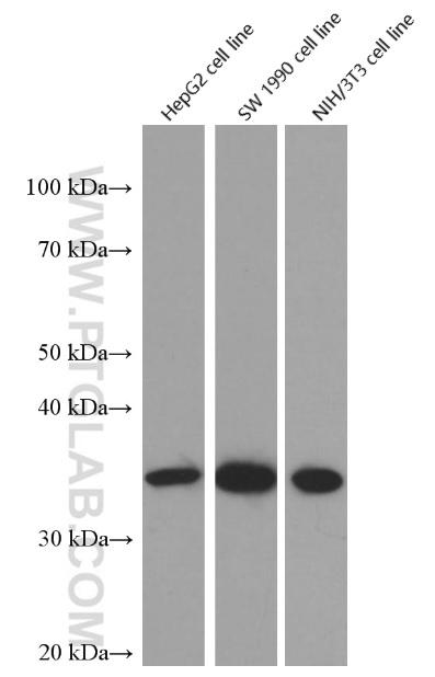 Western blot of Cyclin D1 in HepG2, SW 1990 and NIH/3T3 cell lines with 60186-1-Ig at dilution of 1:10000  incubated at room temperature for 1.5 hours