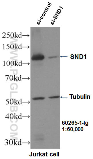 WB result of SND1 antibody (60265-1-Ig, 1:60,000) with si-Control and si-SND1 transfected Jurkat cells.