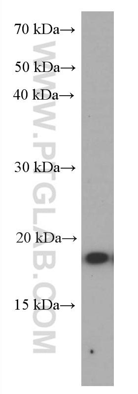 LPS treated RAW 264.7 cells were subjected to SDS PAGE followed by western blot with 60291-1-Ig (TNF alpha antibody) at dilution of 1:2000  incubated at room temperature for 1.5 hours