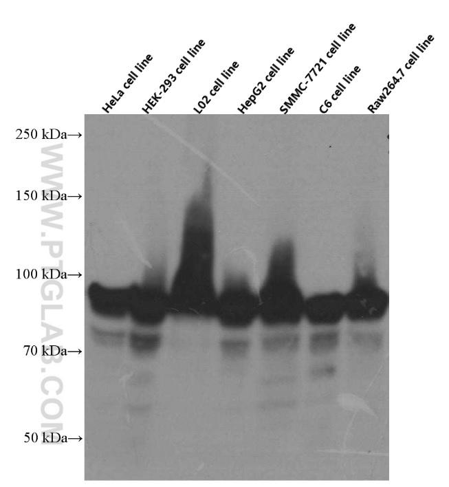 Various cells were subjected to SDS PAGE followed by western blot with 60318-1-Ig( HSP90 Antibody) at dilution of 1:4000  incubated at room temperature for 1.5 hours