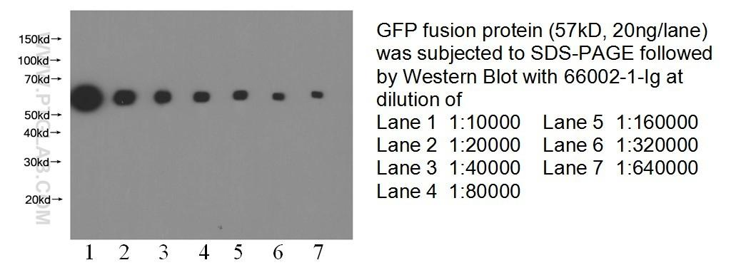 WB result of eGFP fusion protein with anti-eGFP tag(66002-1-Ig) with GFP fusion protein at varous dilutions.