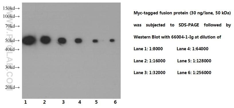 Western Blot of Myc-tagged fusion protein with mouse anti-Myc tag monoclonal antibody(66004-1-Ig) at various dilutions  incubated at room temperature for 1.5 hours