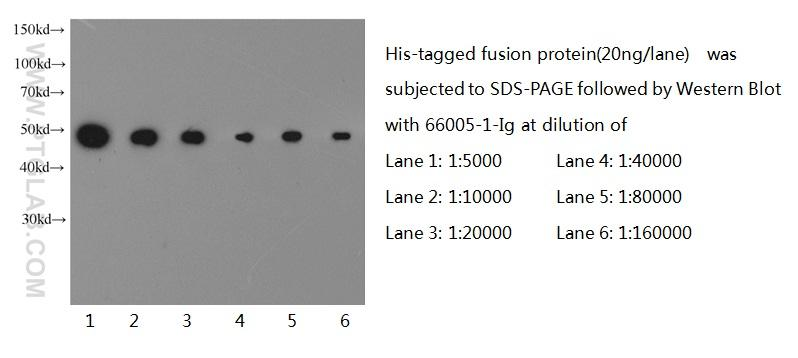 Western blot of 6*His-tagged fusion protein with anti-6*HIS tag (66005-1-Ig) at various dilutions.