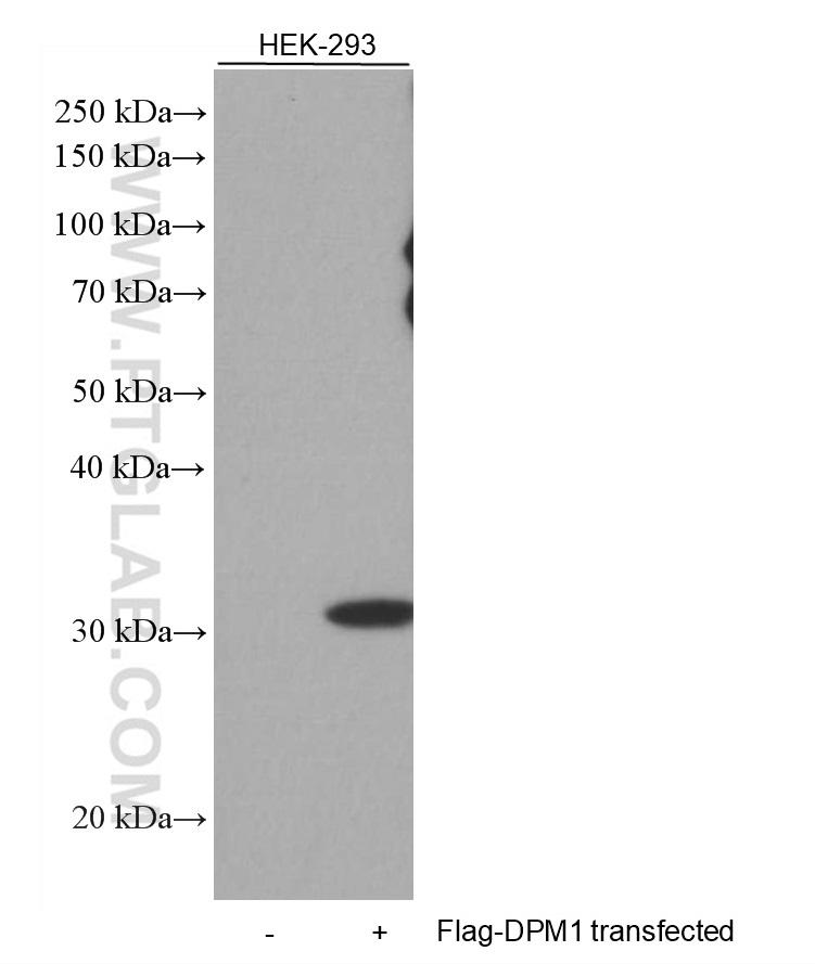 HEK-293 and DDDDK-DPM1 transfected HEK-293 cells were subjected to SDS PAGE followed by western blot with 66008-3-Ig (DDDDK tag antibody) at dilution of 1:2000 incubated at room temperature for 1.5 hours