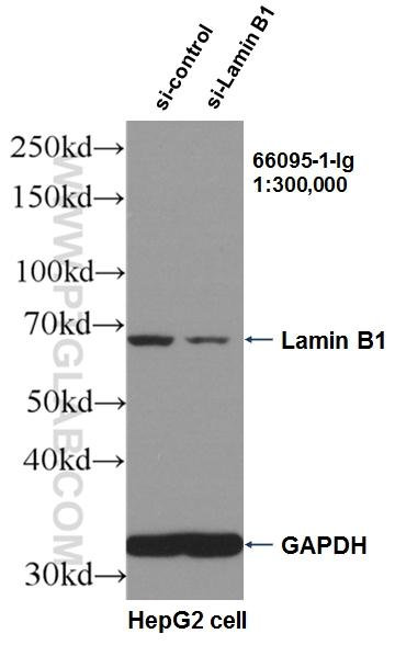 WB result of Lamin B1 antibody (66095-1-Ig, 1:300,000) with si-Control and si-Lamin B1 transfected HepG2 cells.