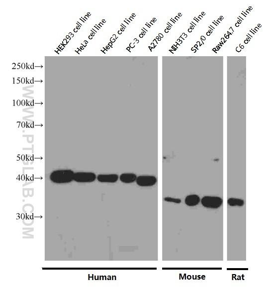 Western blot analysis of TBP in various cell lines using Proteintech antibody 66166-1-Ig at a dilution of 1:8000  incubated at room temperature for 1.5 hours