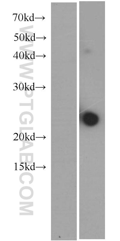 Untransfeted HEK293 cells (left) and IL23A transfected HEK293 cells (right) were subjected to SDS-PAGE followed by western blot with 66196-1-Ig (IL23A monoclonal Antibody) at dilution of 1:1000  incubated at room temperature for 1.5 hours