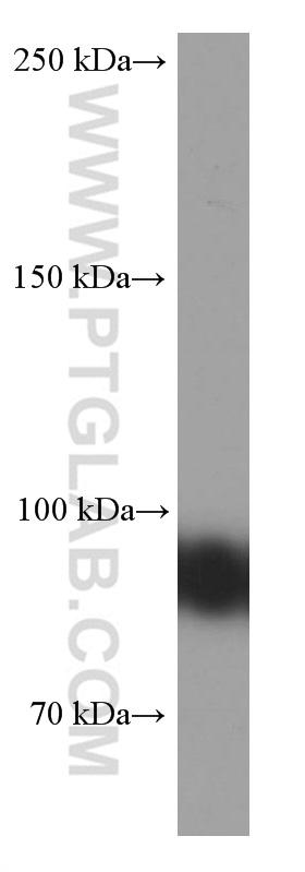 Raji cells were subjected to SDS PAGE followed by western blot with 66298-1-Ig( CD19 Antibody) at dilution of 1:2000  incubated at room temperature for 1.5 hours