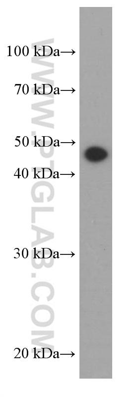HepG2 cells were subjected to SDS PAGE followed by western blot with 66320-1-Ig( tubulin-gamma Antibody) at dilution of 1:1000  incubated at room temperature for 1.5 hours