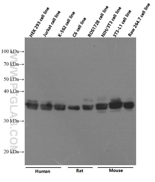 Various lysates were subjected to SDS PAGE followed by western blot with 66345-1-Ig (VDAC1 Antibody) at dilution of 1:40000  incubated at room temperature for 1.5 hours