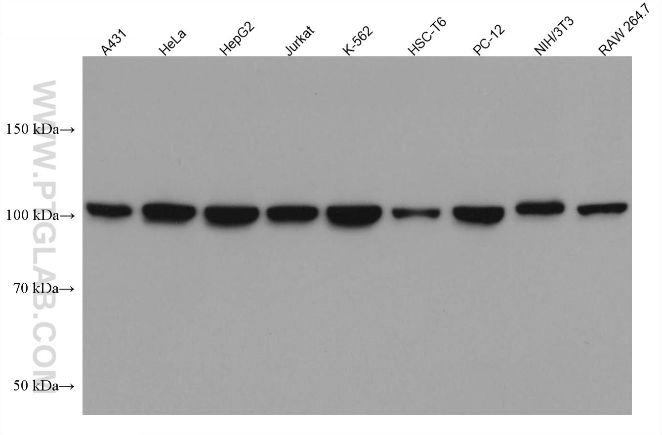 Various lysates were subjected to SDS PAGE followed by western blot with 66763-1-Ig (CRM1 antibody) at dilution of 1:10000 incubated at room temperature for 1.5 hours.