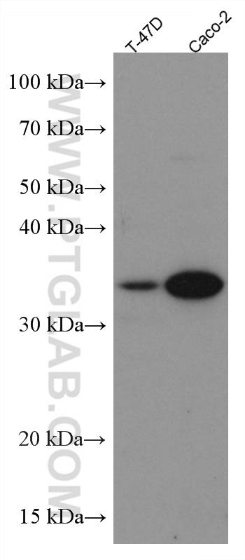 Various lysates were subjected to SDS PAGE followed by western blot with 66830-1-Ig (APOE antibody) at dilution of 1:3000 incubated at room temperature for 1.5 hours