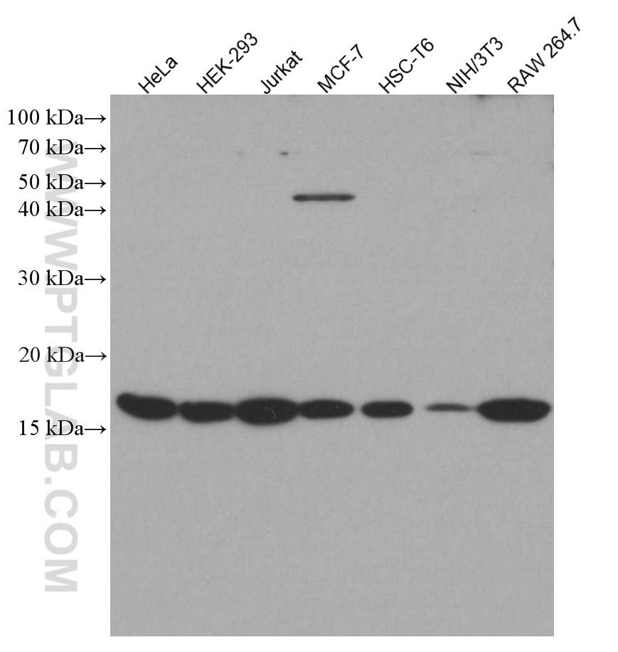 Various lysates were subjected to SDS PAGE followed by western blot with 66863-1-Ig (H3S10-phospho antibody) at dilution of 1:3000 incubated at room temperature for 1.5 hours