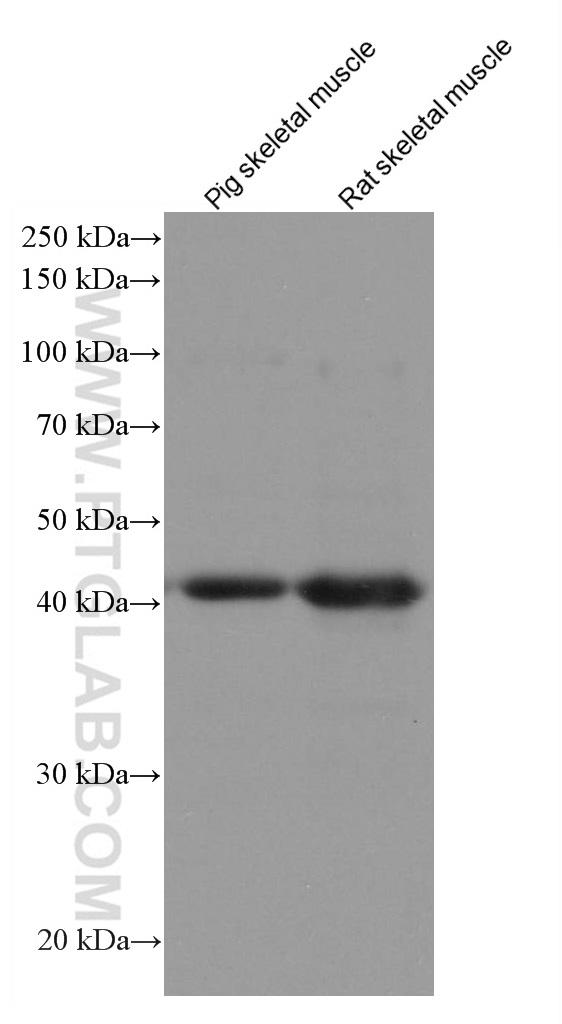 Various lysates were subjected to SDS PAGE followed by western blot with 67172-1-Ig (FBXO32 antibody) at dilution of 1:10000 incubated at room temperature for 1.5 hours