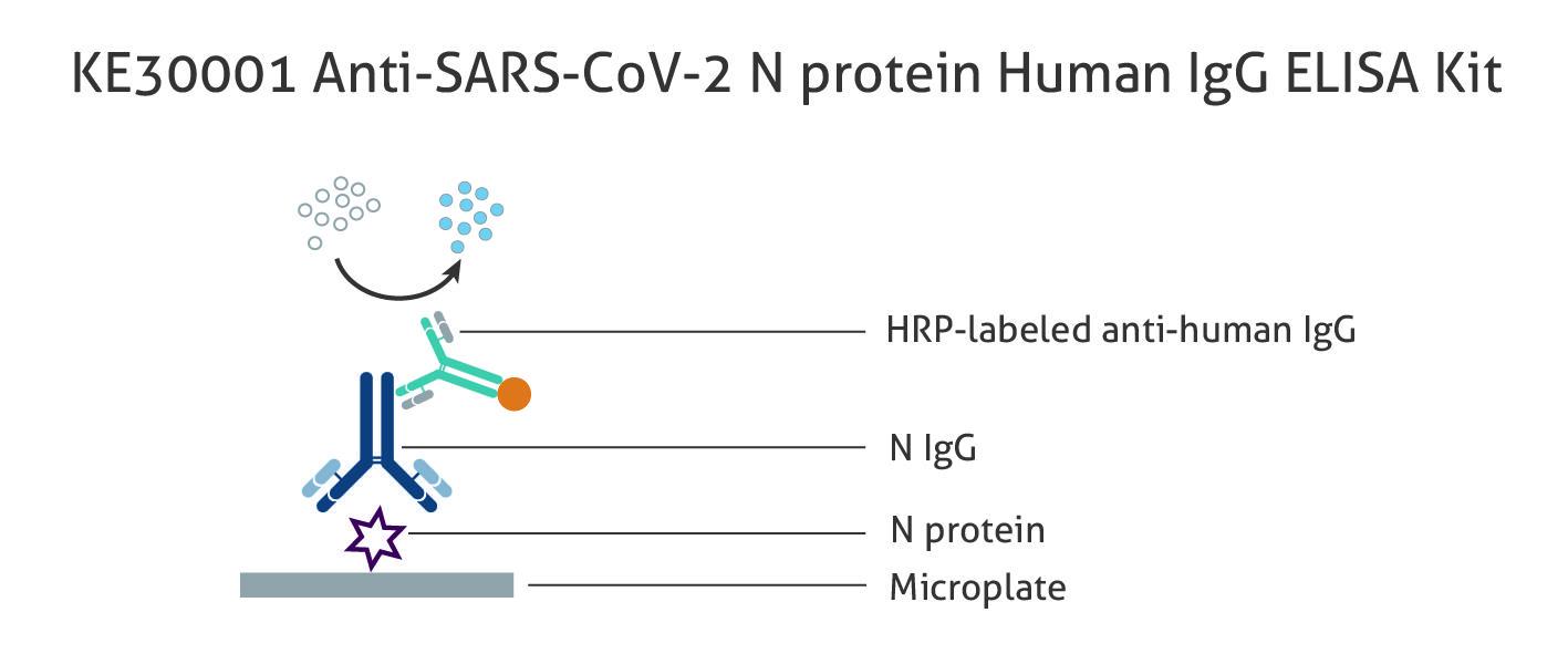 図1 ヒト Anti-SARS-CoV-2 N protein IgG 抗体測定ELISAキット(品番:KE30001)の原理