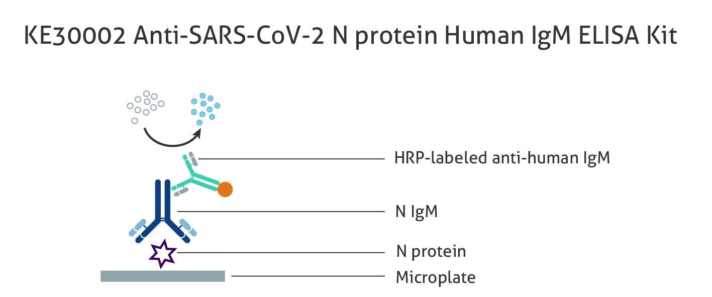 図1 ヒト Anti-SARS-CoV-2 N protein IgM 抗体測定ELISAキット(品番:KE30002)の原理