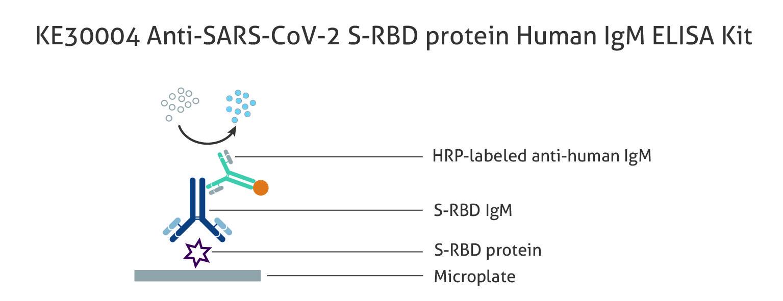 図1 ヒト Anti-SARS-CoV-2 S-RBD protein IgM 抗体測定ELISAキット(品番:KE30004)の原理