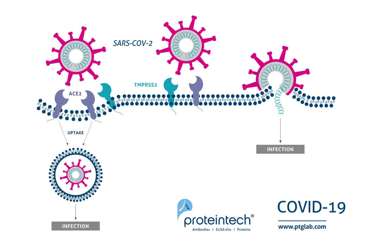SARS-CoV-2の感染機序(メカニズム)概要